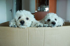 poodles Immagini Stock