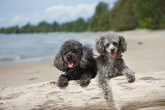 Poodles hanging out at the beach Royalty Free Stock Image