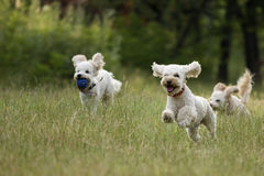 Poodles playing. Three poodles playing in grass Royalty Free Stock Images