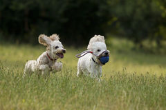 Poodles playing. Two poodles playing in grass Stock Image