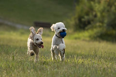 Poodles playing. Two poodles playing in grass Stock Photos