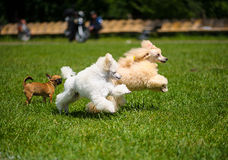 Poodles playing Stock Photography