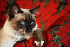 Poof-in-Boots. Eight month-old, male, Snowshoe Lynx Point Ragdoll Siamese on red poinsettia tapestry chair Stock Photography