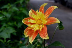 Pooh Dahlia. Red and yellow, Pooh Dahlia, flower flame Royalty Free Stock Images