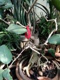 Pooja of Banyan bonsai stock photo