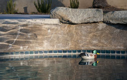 Pool Decoy Stock Photography