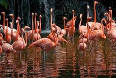 Pool of Flamingo Royalty Free Stock Photo
