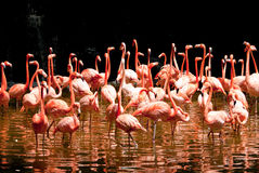 Pool of Flamingo Stock Photography