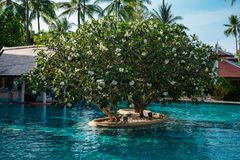 Pool with a frangipani tree in Thailand. The beautiful blue color of water and sky. white flowers on green leaves stock photography