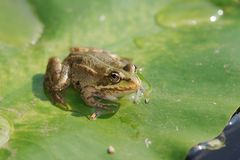 Pool frog. A rana lessonae on a lily pad stock image