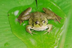 Pool Frog 2. A rana lessonae on a lily pad royalty free stock images
