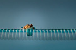 Pool Frog Royalty Free Stock Images