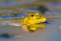Pool frog head looking from water Royalty Free Stock Photography
