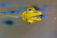 Pool frog head in water. Pool frog (Pelophylax lessonae) looking in camera from the water Stock Photography