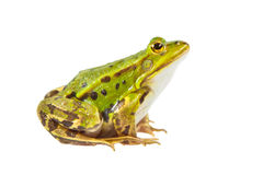 Pool frog male Royalty Free Stock Images