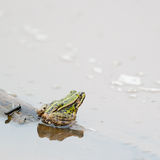 Pool frog Stock Photography