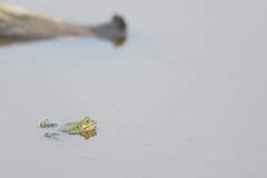 Pool frog Stock Photo