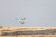 Pool frog Royalty Free Stock Photography