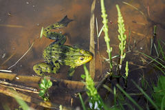 Pool frog (Pelophylax lessonae) royalty free stock image