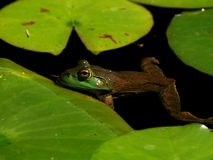 Pool frog in a pond Royalty Free Stock Photo