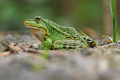 Pool frog portrait Royalty Free Stock Images