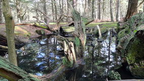 Pool full of trees. Small pool in a forest filled with fallen rotting trees stock video footage