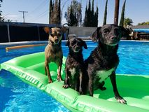 Pool time fun with the dogs Royalty Free Stock Images