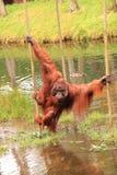 Pool van het orang-oetan de outan kruisende water Royalty-vrije Stock Fotografie
