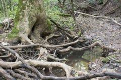 Pool van water met boomwortels stock foto