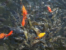 Pool of water with fish royalty free stock photography