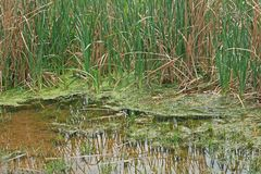FROTHY GREEN SEDIMENT BETWEEN REEDS IN A POND. Pool of water with green foamy sediment floating in grass and green reeds Royalty Free Stock Photography