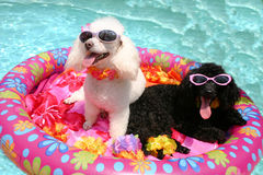 Poolin' Poodles Stock Photo