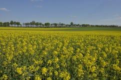 Pools landschap: gebied van oliezaad en tarwe Royalty-vrije Stock Foto's