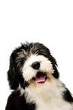 Poolse die Laaglandherdershond op een witte achtergrond wordt geïsoleerd Royalty-vrije Stock Foto