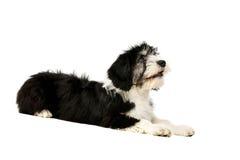 Poolse die Laaglandherdershond op een witte achtergrond wordt geïsoleerd Royalty-vrije Stock Fotografie