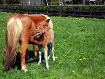 Poolse miniatuurpaardmerrie die haar veulen voedt royalty-vrije stock foto