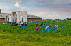 Poolse seizoengebonden arbeiders die aardbeien plukken Stock Fotografie