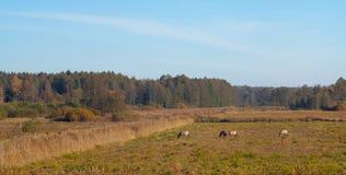 Poolse Tarpan-wild paarden die in Bialowieza weiden stock fotografie