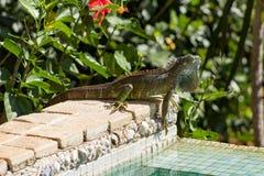 Poolside de la iguana Imagen de archivo