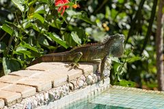 Poolside dell'iguana Immagine Stock