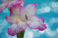 Poolside gladiola. Royalty Free Stock Photo
