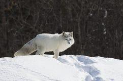 Poolvos die zich in de sneeuw bevinden royalty-vrije stock afbeeldingen