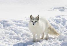 Poolvos die zich in de sneeuw bevinden royalty-vrije stock fotografie