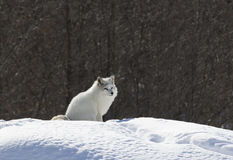 Poolvos die zich in de sneeuw bevinden stock afbeelding