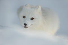 Poolvos in Sneeuw royalty-vrije stock foto's