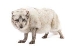 Poolvos, Vulpes-lagopus, op wit wordt geïsoleerd dat Stock Afbeelding
