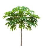 年轻拙劣的poom树 库存图片