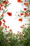 Poopies kwiatów rama na białym tle Obrazy Royalty Free