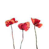 Poopies sunny isolated. Watercolor flowers poppies field in the sun Stock Photo