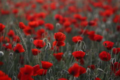 Poopies1. Sunrise morning. Field of red poppies stock photography
